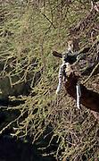 Kenya, Samburu National Park Cheetah (Acinonyx jubatus) on a tree
