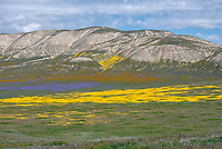 Orange Common Fiddleneck, blue Great Valley Phacelia and yellow Goldfields below the Temblor Range in the Carrizo Plains National Monument, California during a super wildflower bloom on April 4, 2019.