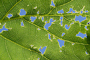 Feeding traces in a leaf of the pedunculate oak (Quercus robur) Reserve 'Niedersächsische Elbtalaue' (Lower Saxonian Elbe Valley), Germany | Fraßspuren in einem Blatt der Stieleiche (Quercus robur)