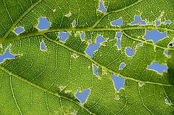 Fraßspuren in einem Blatt der Stieleiche (Quercus robur)