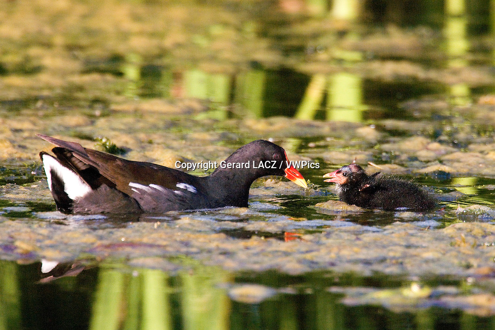 Common Moorhen or European Moorhen, gallinula chloropus, Adult and Chick standing on Pond, Normandy