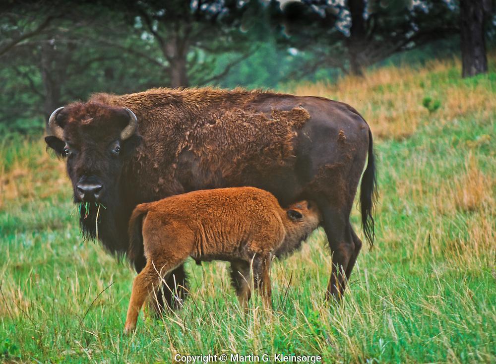 Cow Bison (Bison bison) nursing her calf.  Custer State Park, South Dakota.