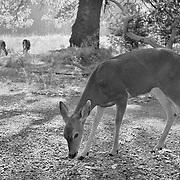 Grazing Deer Meadow Edge - Yosemite Valley - Black & White