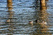 Four horned grebes rest between dives for food.  The morning sun created a brilliant reflection of the pier.
