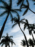 Graceful Royal Palms reach for the sky at Deering Estate in South Miami , Florida