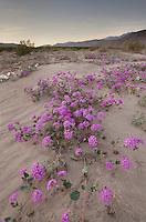 Desert Sand Verbena (Abronia villosa), Anza-Borrego Desert State Park California