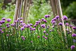 Chives growing in the vegetable garden in Carol Klein's garden at Glebe Cottage. Allium schoenoprasum