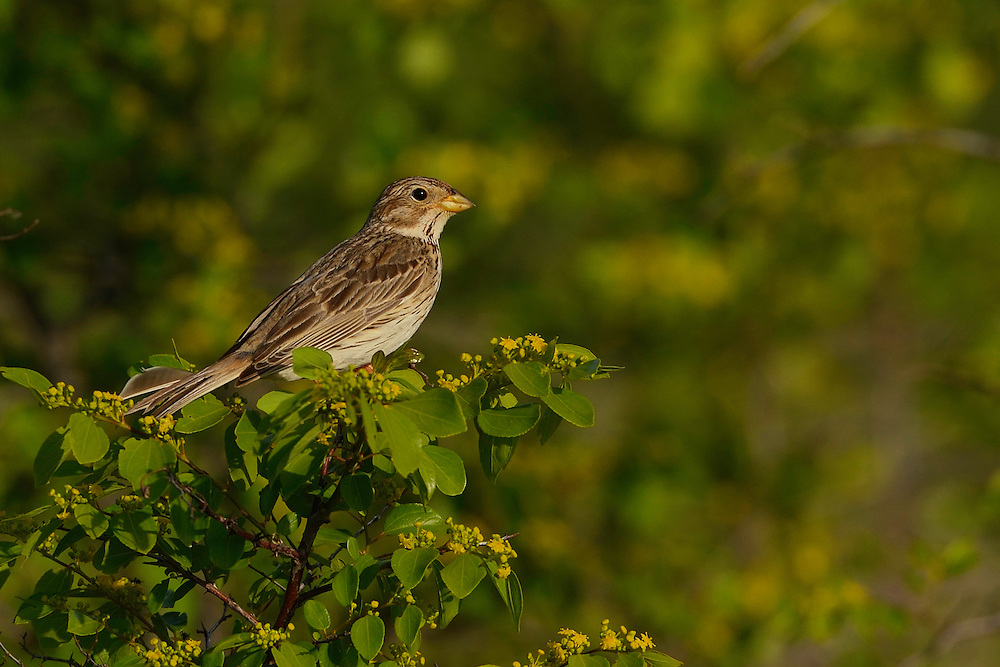 Corn bunting, Emberiza calandra, Sakar mountains, Eastern Rhodope mountains, Bulgaria
