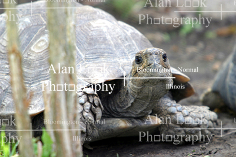 tortoise (Photo by Alan Look)