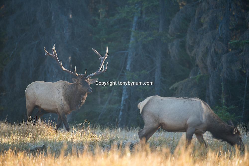 bull and cow elk in meadow