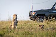 Tourist game viewer surrounding cheetahs  Maasai Mara National Reserve, Kenya, Cheetah (Acinonyx jubatus)<br /> The 5 brothers