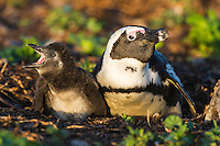 African Penguin with its chick on the nest, Bird Island, Algoa Bay, Eastern Cape, South Africa