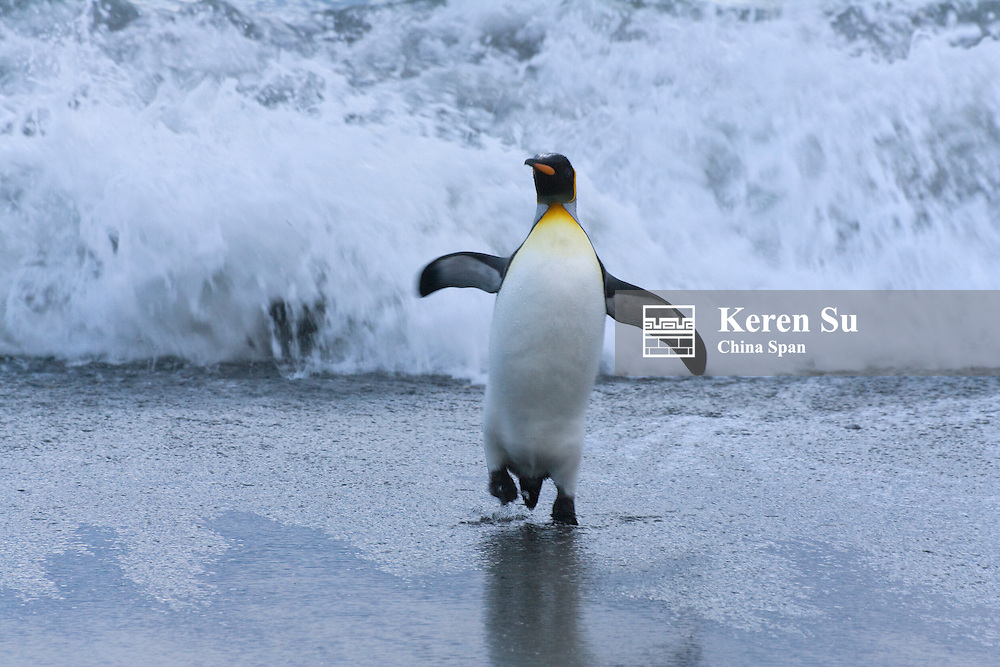 King Penguin (Aptenodytes patagonicus) on the beach, Gold Harbor, South Georgia, Antarctica