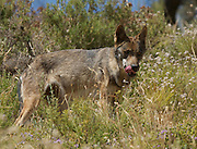 Iberian Wolf in Andalucia