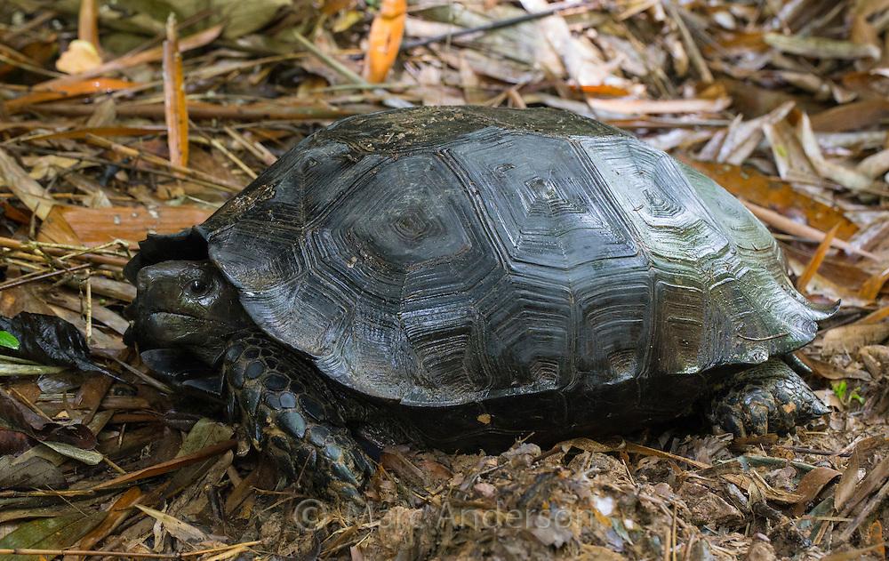 Asian Forest Tortoise (Manouria emys), Kaeng Krachan National Park, Thailand