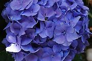 garden hydrangea blooming