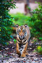 A wild Indian bengal tiger (Panthera tigris tigris) walking through the forest toward the camera,Bandhavgarh,Madhya Pradesh,India