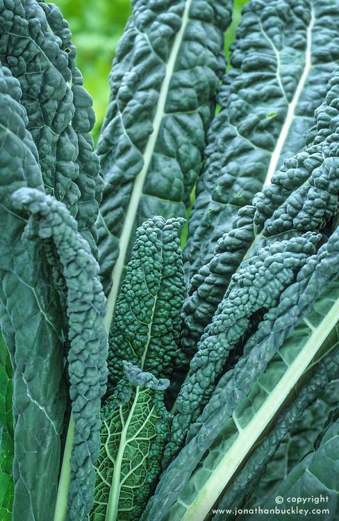 Kale 'Cavalo Nero'