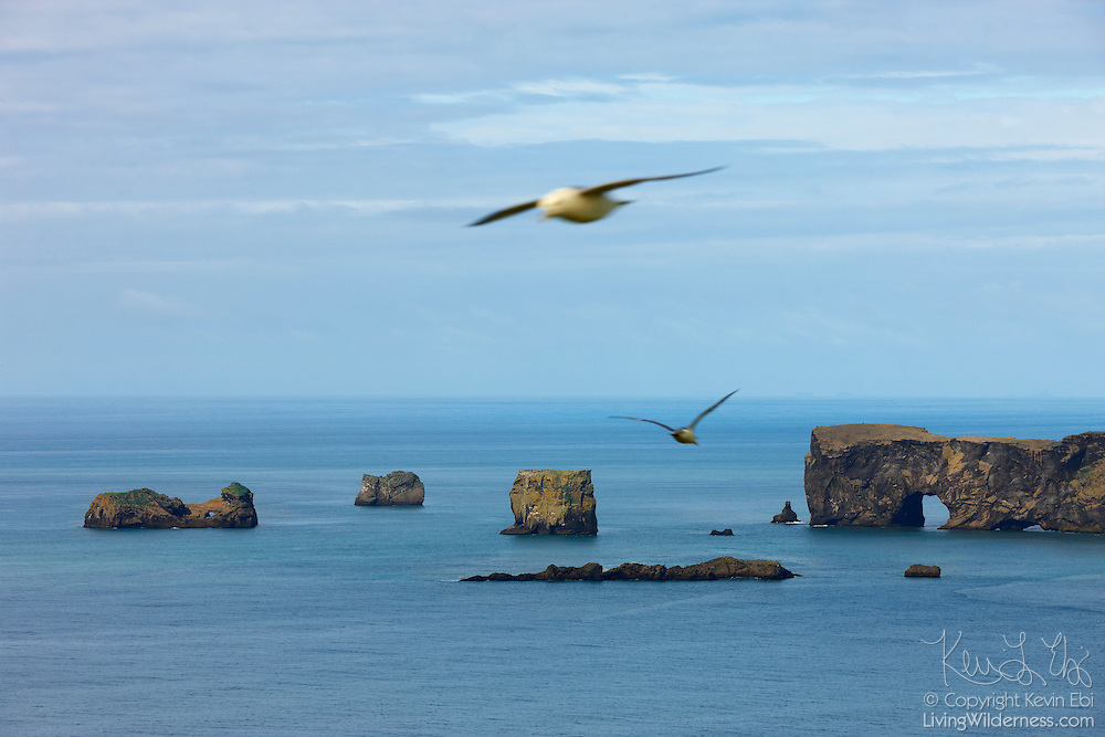 "Two fulmars fly between the southern coast of Iceland and the Dyrhólaey peninsula. The peninsula features several sea arches, resulting its name, which means ""the island with the hill door."" During the early summer, thousands of fulmars (Fulmarus glacialis) nest on rocky cliffs throughout Iceland."