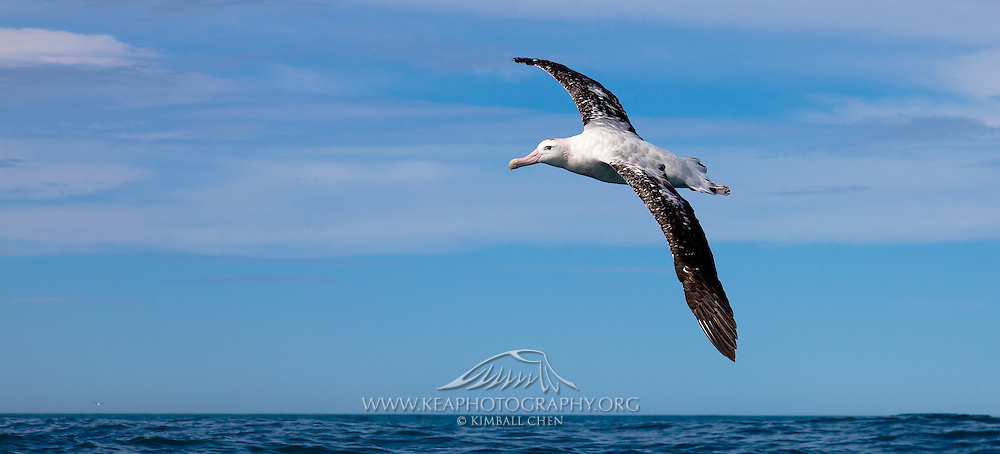 55x25cm print of a Wandering Albatross soaring against the peaceful backdrop of a blue sky and horizon, New Zealand.