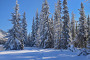 coniferous trees, Kootenay National Park, British Columbia, Canada