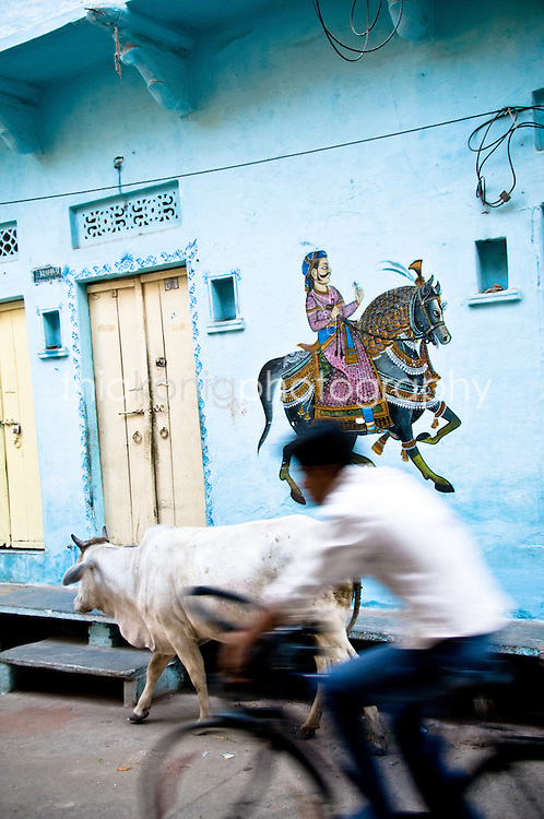 A cow walks as a man on a bicycle passes with blue wall and painting in background, Udaipur, India