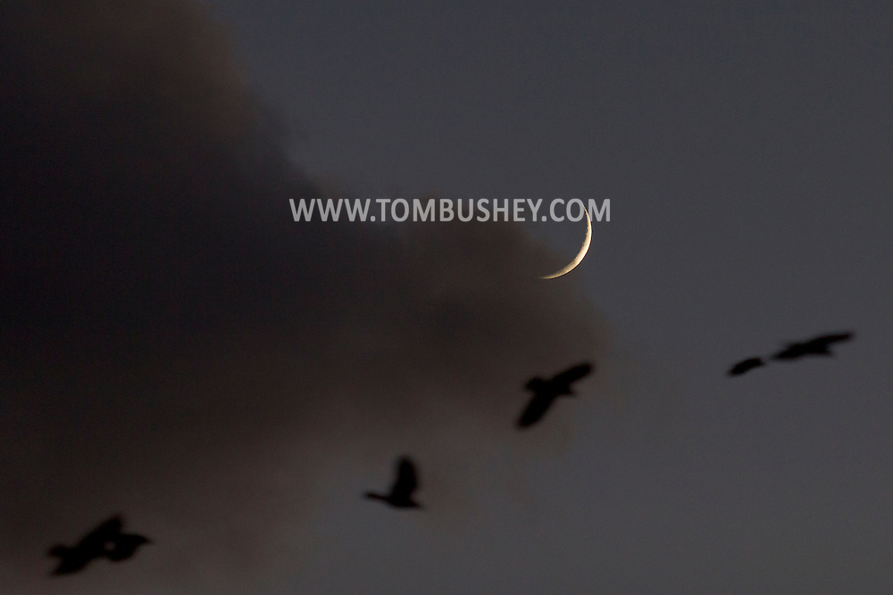 Middletown, New York - Crows converge on downtown Middletown as the crescent moon shines in the twilight sky on  Nov. 24, 2014.