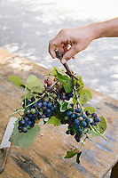 ACCIAROLI, ITALY - 14 SEPTEMBER 2018: Grapes are sold here in Acciaroli, a small fishing village in the municipality of Pollica, Italy, on September 14th 2018.<br /> <br /> To understand how people can live longer throughout the world, researchers at University of California, San Diego School of Medicine have teamed up with colleagues at University of Rome La Sapienza to study a group of 300 citizens, all over 100 years old, living in Acciaroli (Pollica), a remote Italian village nestled between the ocean and mountains in Cilento, southern Italy.<br /> <br /> About 1-in-60 of the area's inhabitants are older than 90, according to the researchers. Such a concentration rivals that of other so-called blue zones, like Sardinia and Okinawa, which have unusually large percentages of very old people. In the 2010 census, about 1-in-163 Americans were 90 or older.