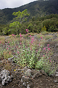 Plant life growing in lava rock on slopes of dormant Vesuvius volcano, near Naples, Italy.