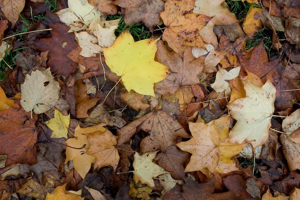 Conjunto de hojas de otoño en un parque de la localidad de Crouch End. Londres, 27-11-2005. (ivan gonzalez)
