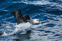 Immature Shy Albatross taking off from the oceans surface, Cape Canyon Trawl Grounds, South Africa