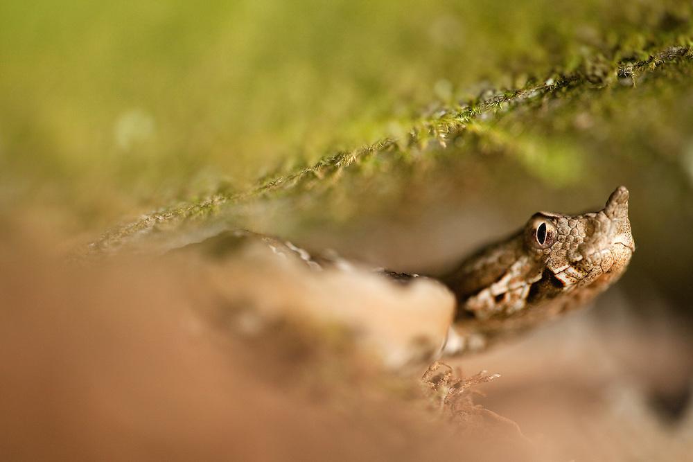Long-nosed viper (Vipera ammodytes) ambushing under rocks.<br /> Danube; National Parl Djerdab; Serbia; iron gate