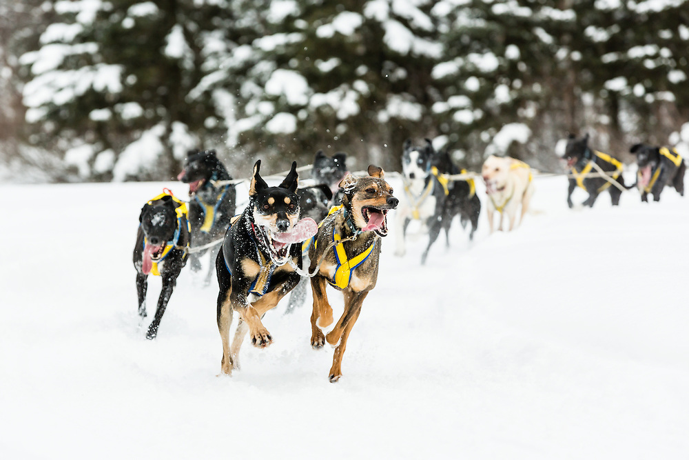 Musher Marie-Anick Alie competing in the Fur Rendezvous World Sled Dog Championships at Campbell Airstrip in Anchorage in Southcentral Alaska. Winter. Afternoon.