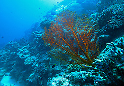 "A colourful Gorgonian fan at ""Cod Hole"" on Mermaid Reef."