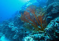 "A colourful Gorgonian fan at ""Cod Hole"" on Mermaid Reef."