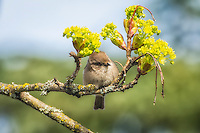 One of the New World's smallest songbirds, the bushtit is a voracious feeder  of insects in the western United States, Mexico and the extreme southwestern corner of British Columbia in Canada.