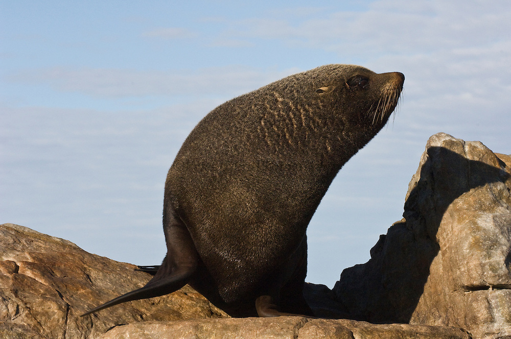 South American Fur Seal or Falkland Islands Fur Seal (Arctocephalus australis australis) BULL<br /> A sub-species of South American Fur Seal. The males are about 3 times larger than the females. The females are also slimmer and generally lighter in colour. They breed in about 10 sites in the islands, mainly in nw and sw and usually on rocky slopes with deep water approaches. They form large colonies of 1000 - 3000. The breeding season begins in early November when the adult males establish territories. The females then arrive a few days before giving birth to one pup. They feed in groups at sea on Lobster Krill, squid and fish. <br /> Steeple Jason. FALKLAND ISLANDS.<br /> The Jasons (Grand and Steeple) are a chain of islands 40 miles (64km) north and west off West Falkland towards Patagonia. Steeple is 6 by 1 mile (10Km by 1.6km) in size. From the coast the land rises steeply to a rocky ridge running along the length. <br /> This island has the largest Black-browed Albatross colony in the world with 113,000. The island is owned by WCS (Wildlife Conservation Society)