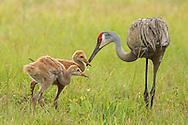 A female sandhill crane feeds her voracious, little colts. These colts followed alongside their mother until she quietly called to them alerting them that she had found some food. Once she gave her little ones a piece of her prize, she went back to foraging looking for more food to feed her hungry family.