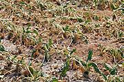 Nederland, Groesbeek, 28-7-2018Akkerbouw heeft in toenemende mate last van de langdurige, aanhoudende droogte. Een veld suikerbieten is vergeeld en het loof verdroogd . De groei is er uit .Foto: Flip Franssen