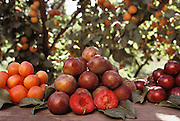 Fruit crosses: Pluots (a cross between a plums and apricots at center), plumcots (samples of the first stage of crossbreeding an apricot with a plum, at right), and apriums (a cross between plumcots and apricots, at left). Floyd Zaiger (Born 1926) is a biologist who is most noted for his work in fruit genetics. Zaiger Genetics, located in Modesto, California, USA, was founded in 1958. Zaiger has spent his life in pursuit of the perfect fruit, developing both cultivars of existing species and new hybrids such as the pluot and the aprium. Pluot fruit (plum & apricot) - 1988.