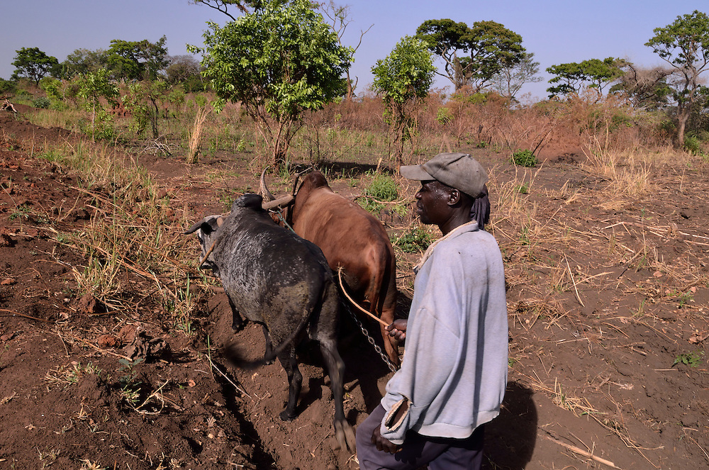 In northern Uganda, draft animals are in short supply, but will be an increasingly important aid to help farmers till their fields.  Most farmers returned to their land in the last three years, after languishing in government camps during the years of terror by Joseph Kony's Lords Liberation Army.   Farmers generally have small plots and need to pool their resources to acquire draft animals.   It may be an increasingly important part of the growing cotton industry.