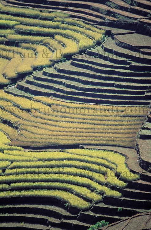 Nepal - Region de Gorkha - Rizière en terrassse