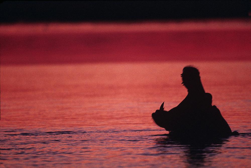 Africa, Botswana, Chobe National Park, Hippopotamus (Hippopotamus amphibius) yawns in fading twilight on Chobe River