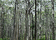AUSTRALIA - BEDDELUP A general view Karri Trees in  Western Australia. 11/01/2010. STEPHEN SIMPSON...