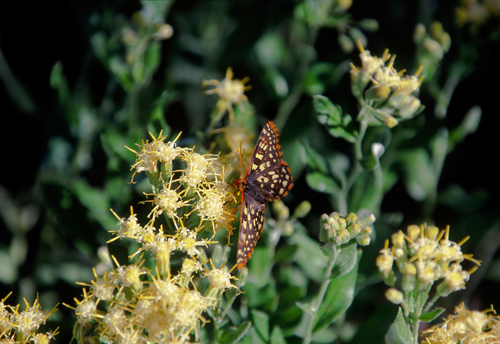Butterfly, Mt. St. Helens National Volcanic Monument, Washington, US