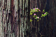 A rhododendron bush grows in front of a large redwood tree
