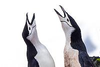 Pair of chinstrap penguin calling, Pygoscelis antarcticus on Half Moon Island in the South Shetland Islands, Antarctica.