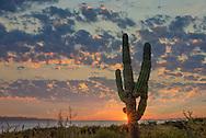 Mexico, Baja California sur, Baja, La Ventana, Sea of Cortez, Pachycereus pringlei, cardon cactus, sunrise near El Sargento