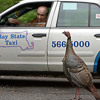 (05/10/08-Brookline,MA) A Boston taxi driver slows and stares at a wild turkey whose presence, in the middle of the street, was delaying morning traffic
