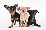 Three Chihuahua puppies photographed on a white seamless background.  Puppies were photographed while they were available for adoption at the Benton-Franklin Humane Society